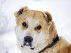 Фото в   Эту красивую собаку, очень похожую на Осетинского в Москве 0