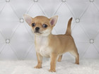 Изображение в Собаки и щенки Продажа собак, щенков Питомник Челси Хаус предлагает 3-х девочек в Москве 35000