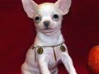Фото в   Продаются стильные г/ш щенки чихуахуа рожд. в Москве 15000