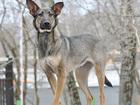 Фото в   Лесси - стерилизованная двухлетняя собака, в Москве 0