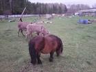 Скачать бесплатно фото Другие животные Продается карликовый жеребец 38335066 в Москве