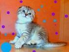 Фотография в   Шикарные вислоухие котята, скоттиш-фолд, в Москве 0