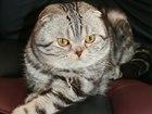 Фотография в Кошки и котята Вязка Ищем кошечку на вязку, кот шотландец вислоухий, в Москве 2000