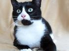Фотография в Кошки и котята Продажа кошек и котят Девушка во фраке – это стильно :-)  Стильная, в Москве 0