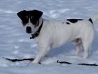 Изображение в Собаки и щенки Вязка собак Отличный кобель породы Джек Рассел Терьер в Москве 0