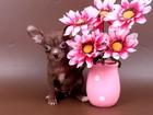 Изображение в Собаки и щенки Продажа собак, щенков Красотка-шоколадная чишка, симпотичная, застенчивая в Москве 0