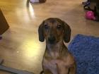 Фото в Собаки и щенки Вязка собак нужна девочка СРОЧНО! ! ! ! ! !   желательно в Москве 0