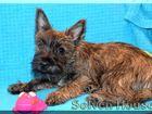 Изображение в Собаки и щенки Продажа собак, щенков Продается щенок Керн терьера из питомника в Москве 0