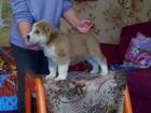 Изображение в Собаки и щенки Продажа собак, щенков Продаются щенки среднеазиатской овчарки от в Ярославле 0