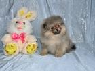Фотография в Собаки и щенки Продажа собак, щенков Пушистый очаровашка померанский шпиц мальчик, в Москве 23000