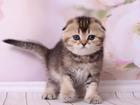 Фотография в   Открыт резерв на котят скоттиш фолд. Котик в Москве 50000