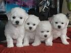 Изображение в Собаки и щенки Продажа собак, щенков Московский питомник Весёлый Бишон продаёт в Москве 25000