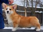 Изображение в Собаки и щенки Продажа собак, щенков Питомник Свежий Ветер предлагает к продаже в Москве 60000