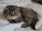 Изображение в Кошки и котята Продажа кошек и котят Симпатичный малыш, породы шотландский вислоухий в Москве 5000