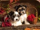 Изображение в   Продаются щеночки мальчики 22. 11. 16 гр. в Москве 15000