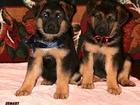 Изображение в Собаки и щенки Продажа собак, щенков Продаются породистые щенки немецкой овчарки, в Москве 30000