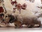 Фотография в Собаки и щенки Продажа собак, щенков Продаются клубные щенки длинношерстной, миниатюрной в Москве 0