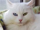 Фотография в Кошки и котята Продажа кошек и котят Отдается белая, симпатичная кошка по имени в Москве 0