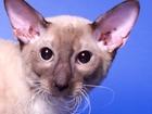 Фотография в Кошки и котята Вязка Предлагаем для вязки-Корниш рекс клубного в Москве 2500