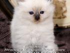 Фото в Кошки и котята Продажа кошек и котят Московский питомник Невских Маскарадных кошек в Москве 0
