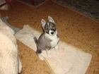 Изображение в Собаки и щенки Продажа собак, щенков Щенки зсл от рабочих собак Б с родословной, в Москве 20000