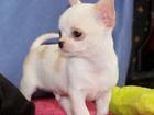 Фото в Собаки и щенки Продажа собак, щенков В продаже породистый малыш с хорошей родословной. в Москве 55000