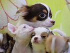 Фото в Собаки и щенки Продажа собак, щенков Чихуахуа, мини, классика (клеймо РКФ). Реальные в Москве 18000