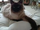 Новое фото Вязка Москва, Ищем кота невской маскарадной для первой вязки, 38726093 в Москве