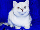 Фотография в   Лицензированный питомник британских кошек в Москве 30000