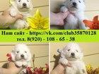 Изображение в Собаки и щенки Продажа собак, щенков Продам удивительных щенков САМОЕДСКОЙ ЛАЙКИ! в Москве 0