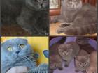 Фотография в Кошки и котята Вязка Опытные клубные скоттиш фолды ( вислоухие в Москве 3000