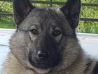 Скачать бесплатно фото Вязка собак Кобель для вязки 38852125 в Москве