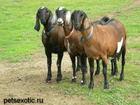 Смотреть фото  Англо нубийские козы купить можно у нас , Продам козлят 38922871 в Москве