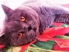 Фотография в Кошки и котята Вязка Котик ждет Вашу кошечку, приезжайте)  Привозите в Москве 2000