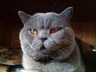 Изображение в Кошки и котята Вязка Приглашаем на вязку с красивым крупным котом в Москве 2000