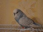 Изображение в   Продается ЧЕХ волнистый попугай, подросток, в Москве 3500