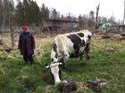Скачать бесплатно фотографию  Продается чистопородная корова, 39117359 в Санкт-Петербурге