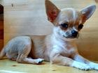 Изображение в Собаки и щенки Продажа собак, щенков Мальчик интеллигентный, робкий, очень впечатлительный в Москве 18000