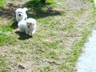 Фото в Собаки и щенки Продажа собак, щенков Девочки 3 мес мес, привиты полностью, можно в Москве 20000