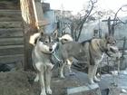 Фотки и картинки Западно-сибирская лайка смотреть в Люберцы