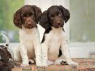 Продаются щенки малого мюнстерлендера для активных людей
