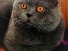 Просмотреть foto Вязка кошек Вязка шикарный красавец кот Шотландский 39702701 в Москве