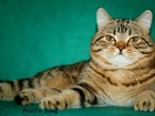 Смотреть foto Вязка кошек Элитный шотландский еот страйт - вязка 39709674 в Москве