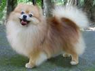 Скачать фото Вязка собак Кобель для вязки шпиц померанский 39966579 в Москве