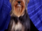 Новое foto Вязка собак Красавчик йорк приглашает на вязку 39979836 в Москве