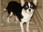 Просмотреть изображение Вязка собак Чихуахуа триколорный кобель для вязки 40017563 в Москве