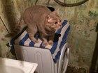 Увидеть изображение  вязка кошек с британским котом 40183512 в Чехове