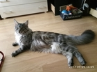 Скачать изображение Вязка кошек Великолепный кот Вязка кота Мейн-кун 40273847 в Москве