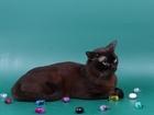 Скачать бесплатно foto Вязка кошек Вязка-Бурманский соболиный кот 40449524 в Люберцы