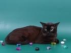 Новое фото  Вязка-Бурманский соболиный кот 40449524 в Люберцы